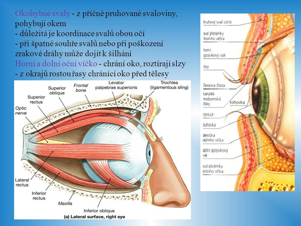 Okohybné svaly - z příčně pruhované svaloviny, pohybují okem