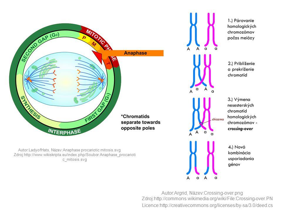 Autor:LadyofHats, Název:Anaphase procariotic mitosis