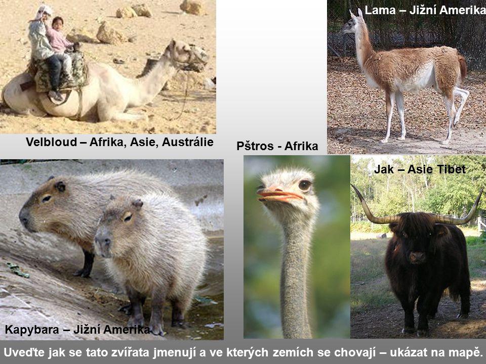 Lama – Jižní Amerika Velbloud – Afrika, Asie, Austrálie. Pštros - Afrika. Jak – Asie Tibet. Kapybara – Jižní Amerika.