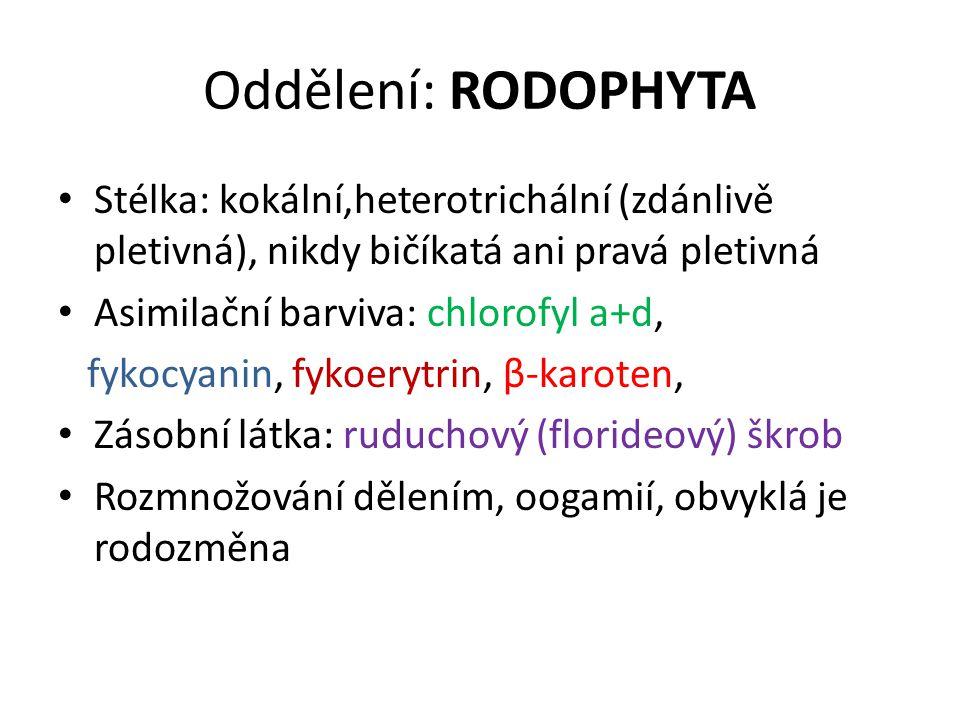 Oddělení: RODOPHYTA Stélka: kokální,heterotrichální (zdánlivě pletivná), nikdy bičíkatá ani pravá pletivná.