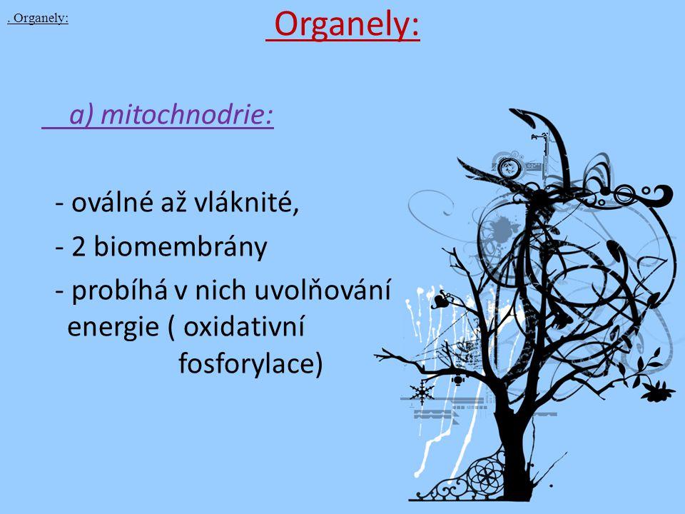 Organely: a) mitochnodrie: - oválné až vláknité, - 2 biomembrány