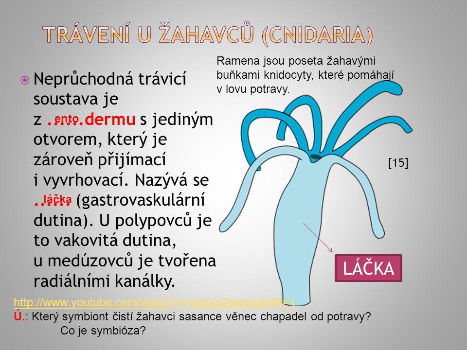 Trávení U ŽAHAVCŮ (cnidaria)