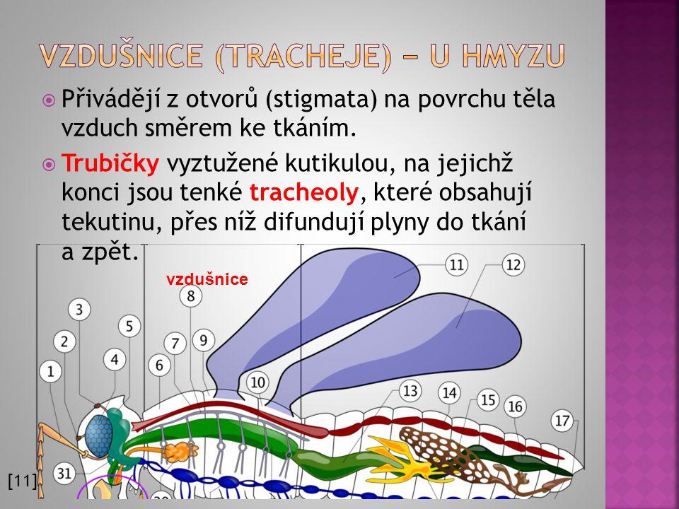 Vzdušnice (tracheje) − u hmyzu