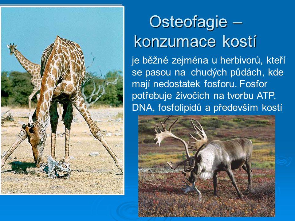 Osteofagie – konzumace kostí