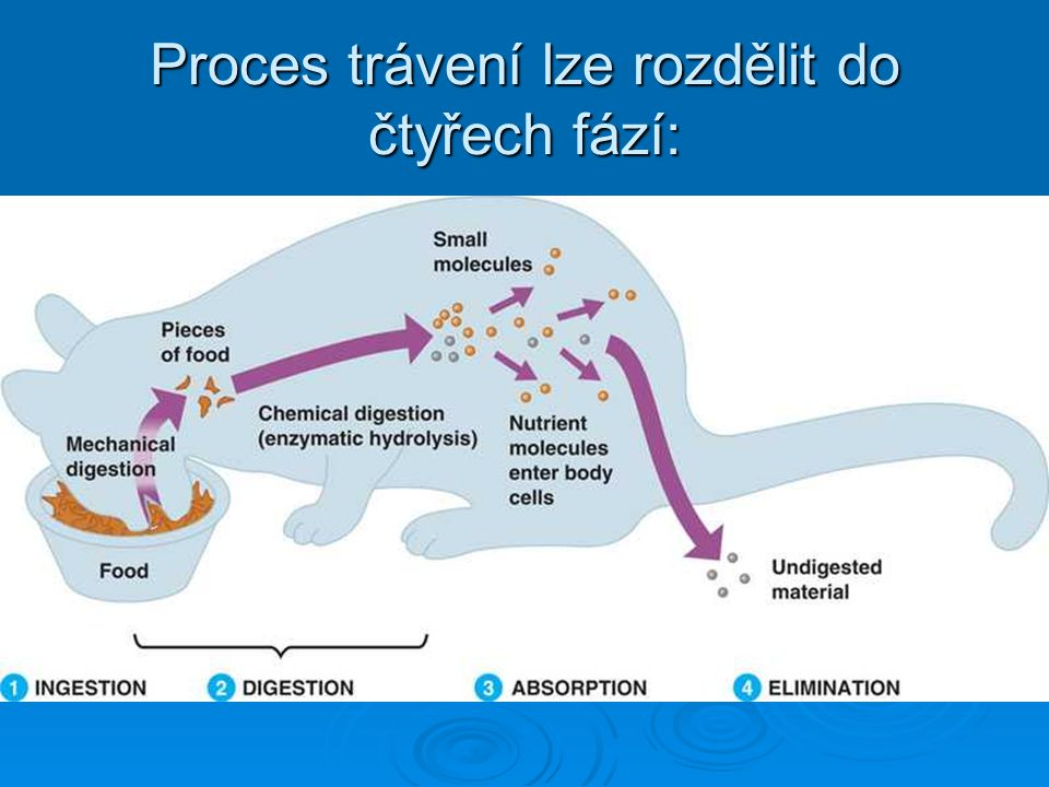 Proces trávení lze rozdělit do čtyřech fází: