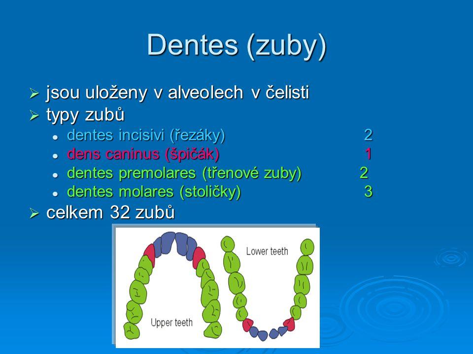 Dentes (zuby) jsou uloženy v alveolech v čelisti typy zubů