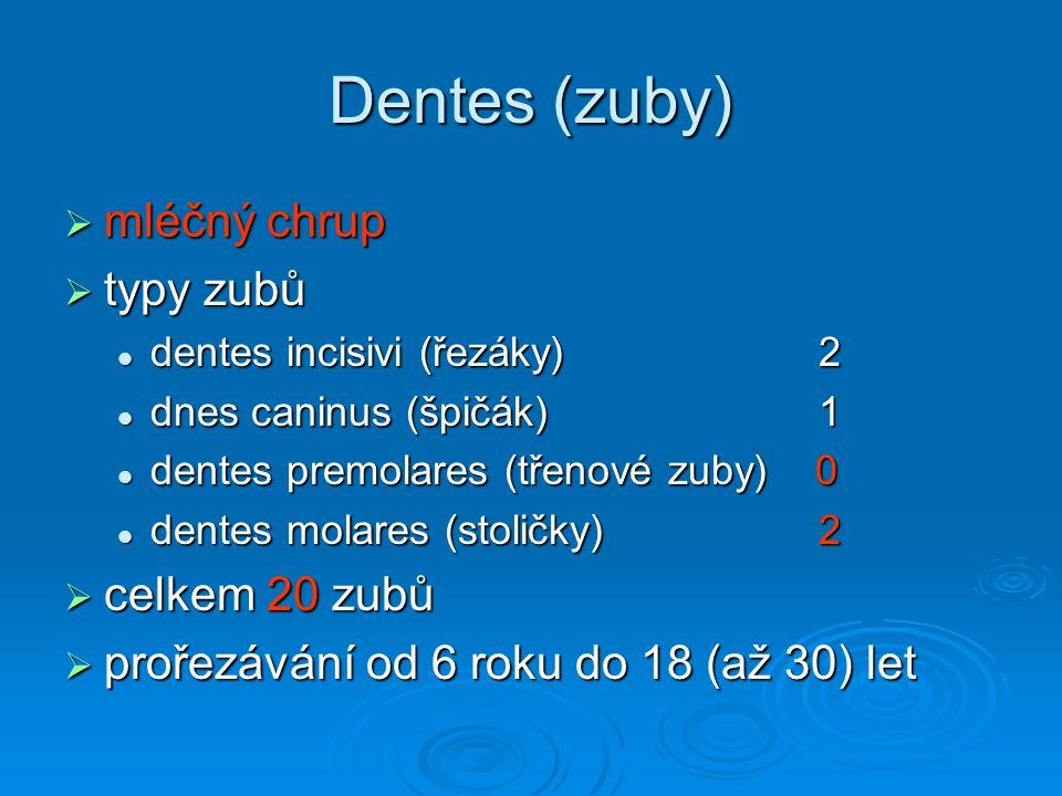 Dentes (zuby) mléčný chrup typy zubů celkem 20 zubů