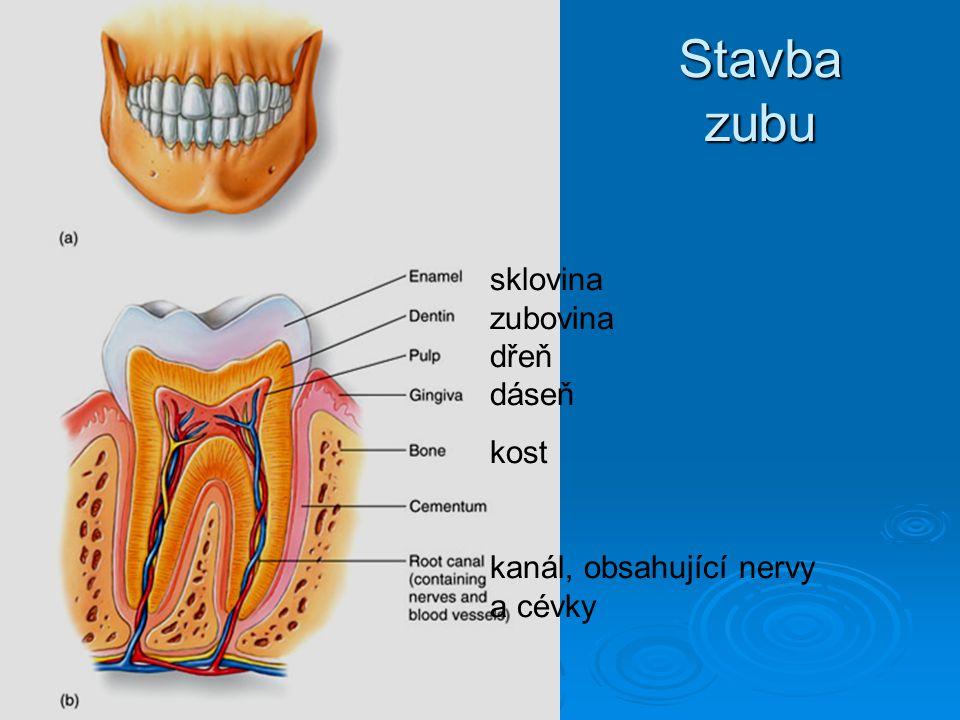 Stavba zubu sklovina zubovina dřeň dáseň kost