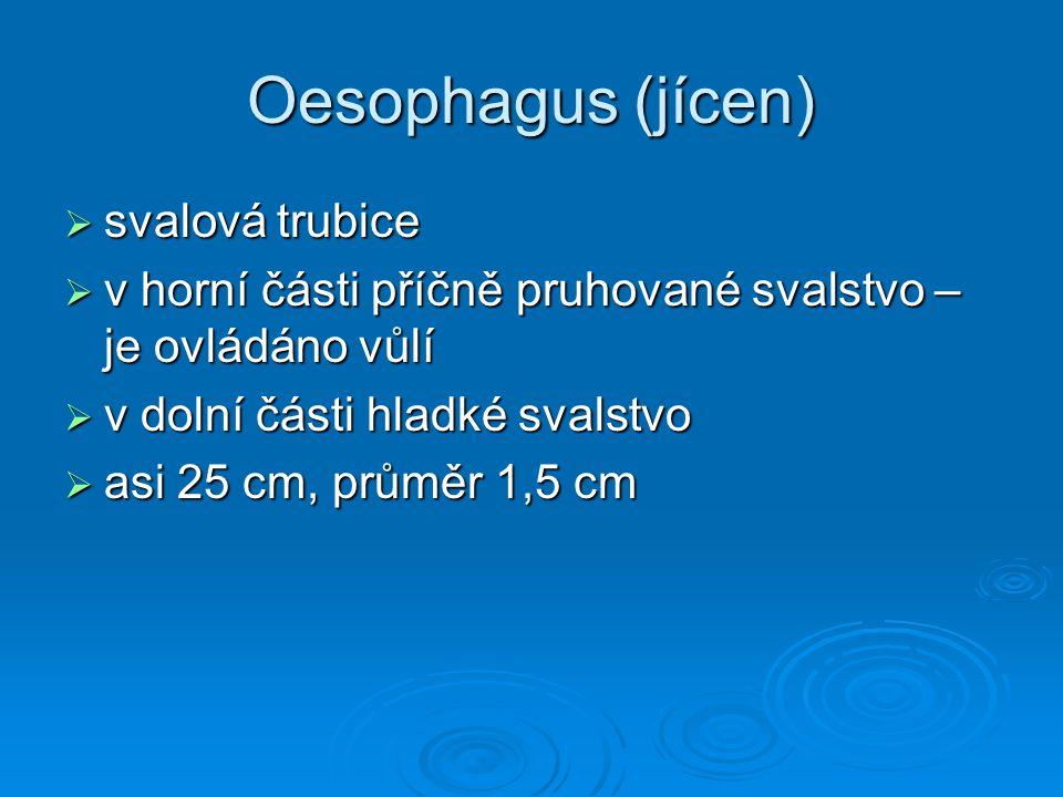 Oesophagus (jícen) svalová trubice