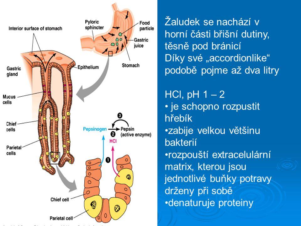 Žaludek se nachází v horní části břišní dutiny, těsně pod bránicí
