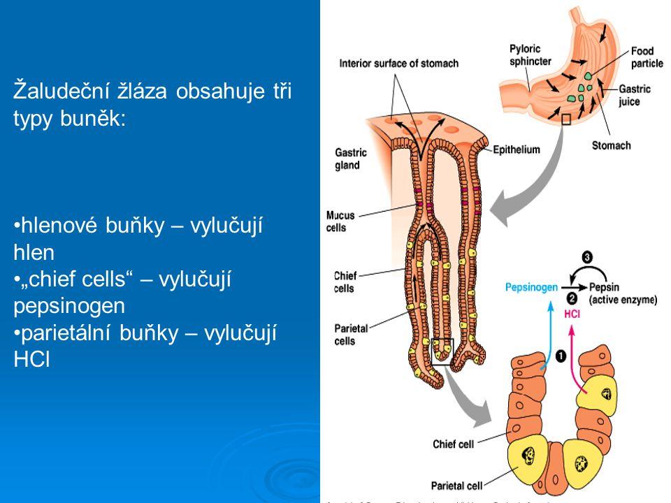 Žaludeční žláza obsahuje tři typy buněk: