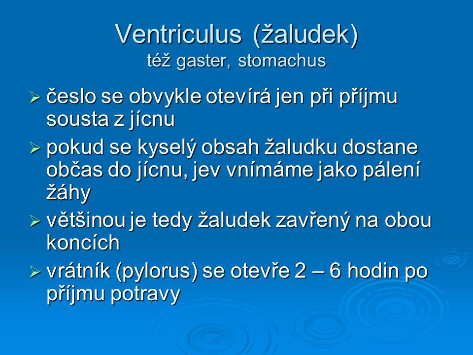 Ventriculus (žaludek) též gaster, stomachus
