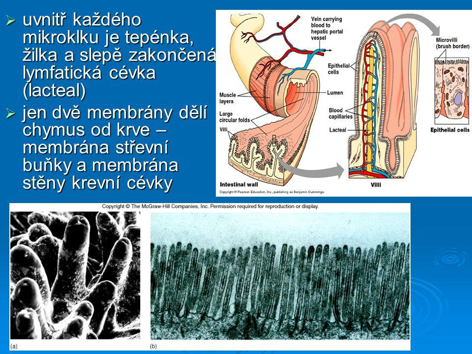 uvnitř každého mikroklku je tepénka, žilka a slepě zakončená lymfatická cévka (lacteal)