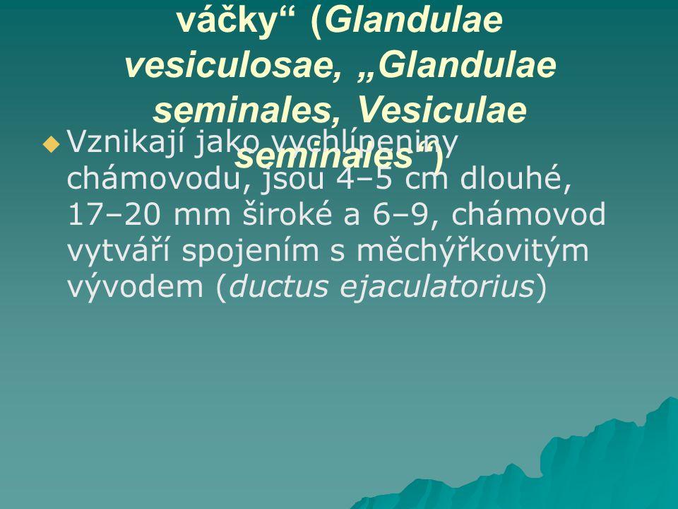"""Měchýřkovité žlázy, """"Semenné váčky (Glandulae vesiculosae, """"Glandulae seminales, Vesiculae seminales )"""