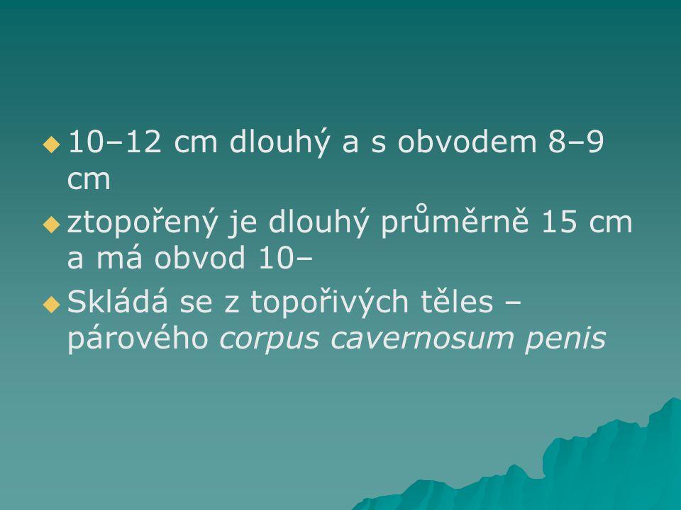 10–12 cm dlouhý a s obvodem 8–9 cm