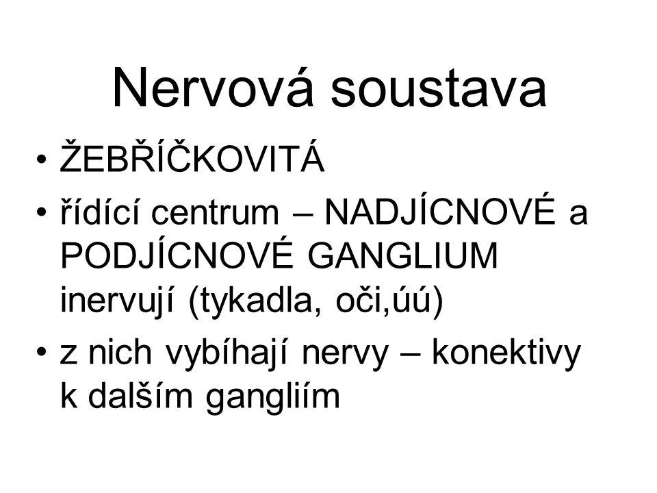 Nervová soustava ŽEBŘÍČKOVITÁ