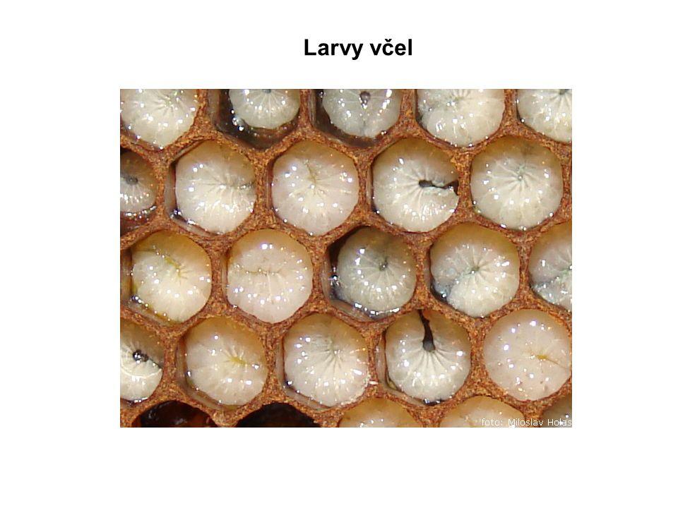 Larvy včel