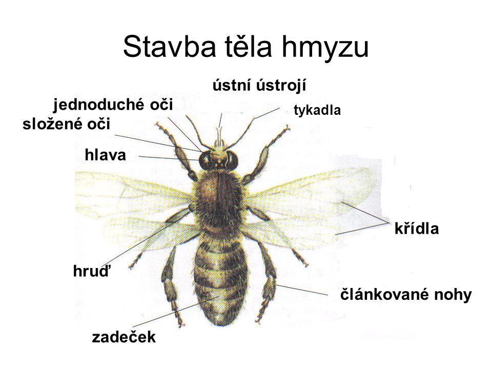 Stavba těla hmyzu ústní ústrojí jednoduché oči složené oči hlava