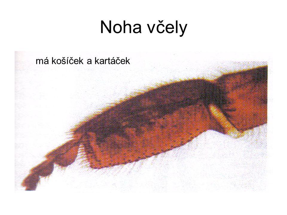 Noha včely má košíček a kartáček
