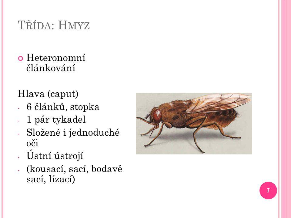 Třída: Hmyz Heteronomní článkování Hlava (caput) 6 článků, stopka