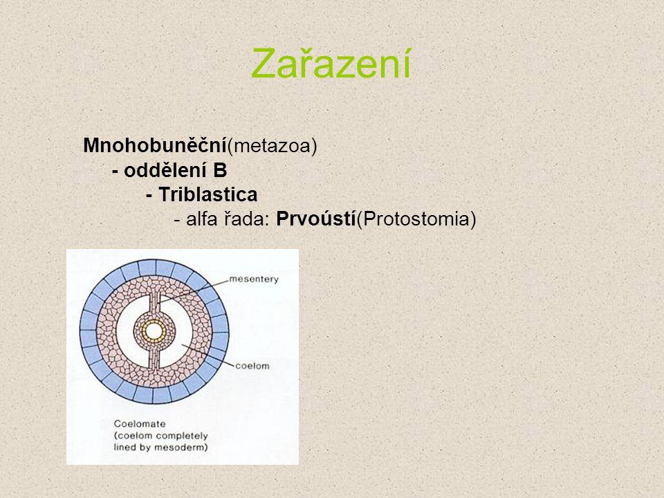 Zařazení Mnohobuněční(metazoa) - oddělení B - Triblastica - alfa řada: Prvoústí(Protostomia)