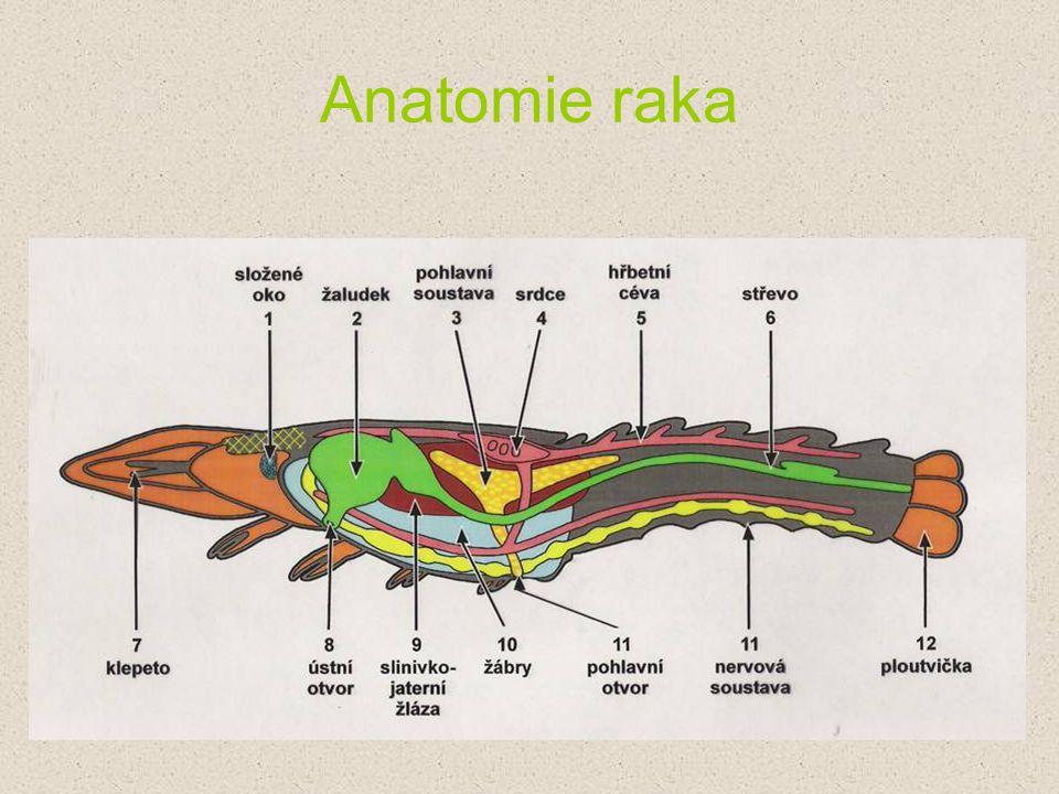 Anatomie raka