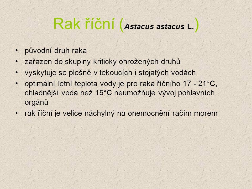 Rak říční (Astacus astacus L.)