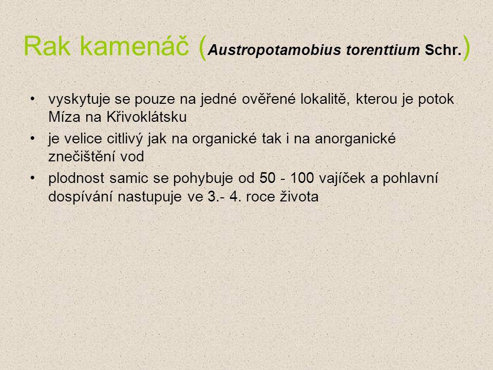 Rak kamenáč (Austropotamobius torenttium Schr.)