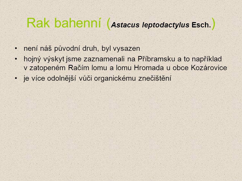 Rak bahenní (Astacus leptodactylus Esch.)