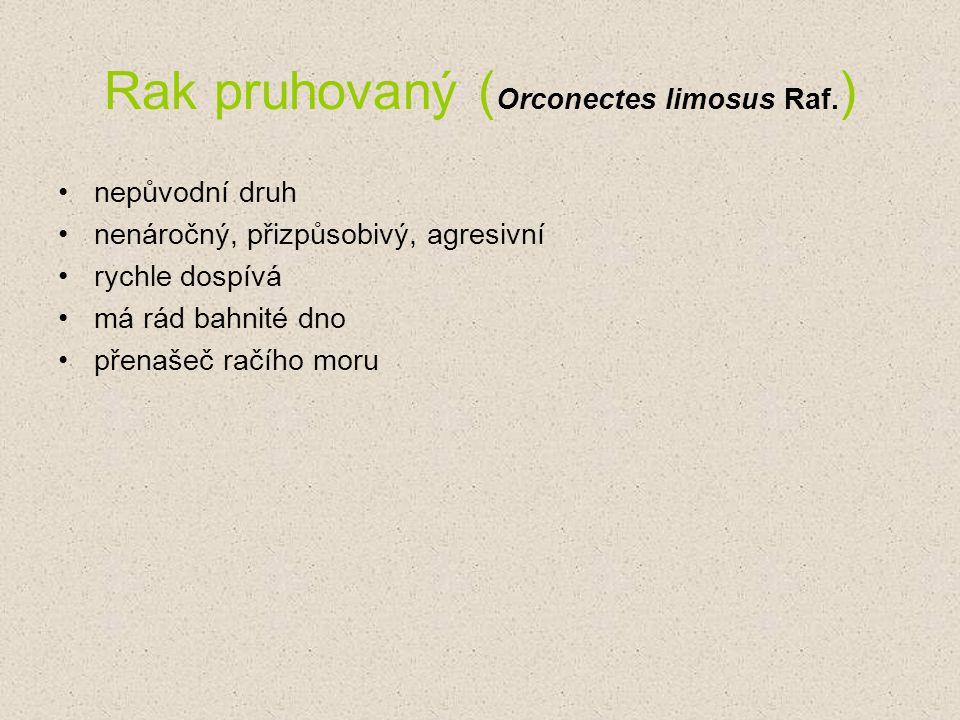 Rak pruhovaný (Orconectes limosus Raf.)