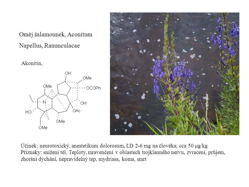 Oměj šalamounek, Aconitum Napellus, Ranunculacae