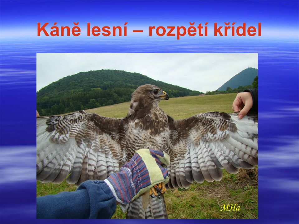 Káně lesní – rozpětí křídel