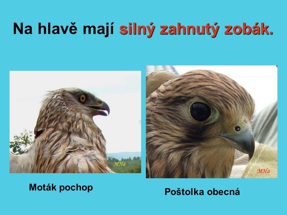 Na hlavě mají silný zahnutý zobák.