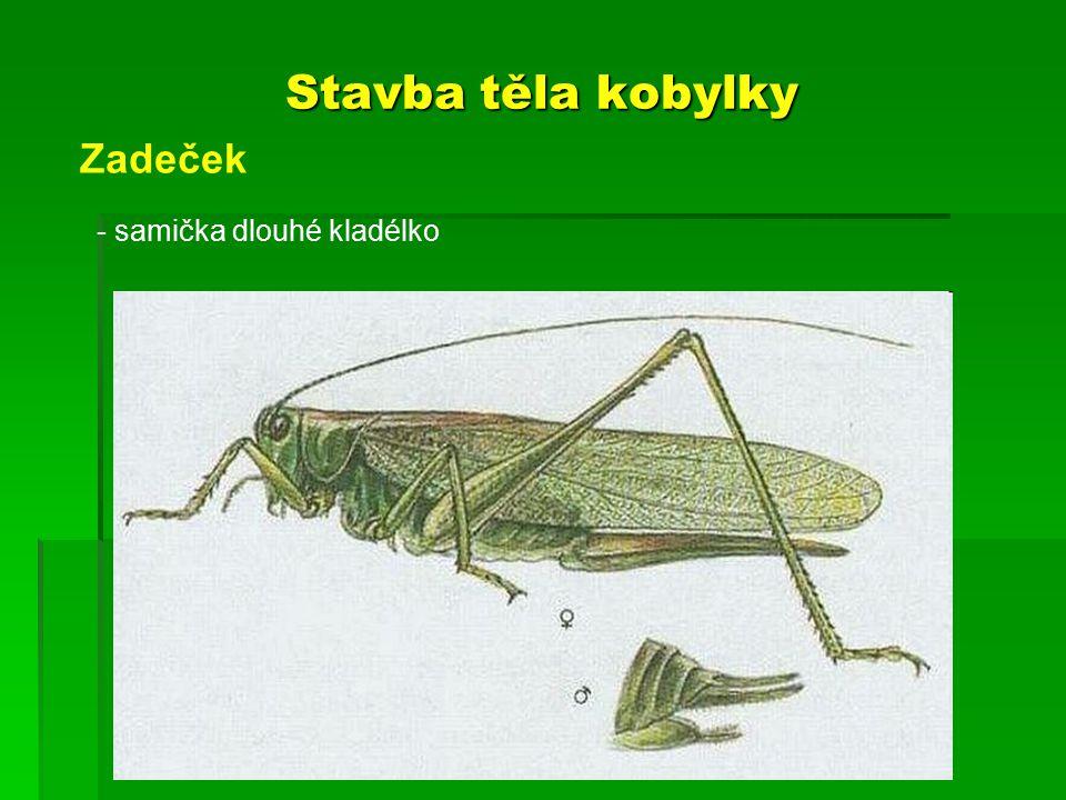 Stavba těla kobylky Zadeček - samička dlouhé kladélko