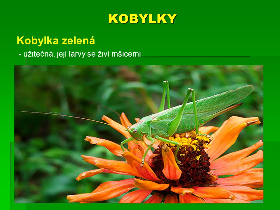 KOBYLKY Kobylka zelená užitečná, její larvy se živí mšicemi
