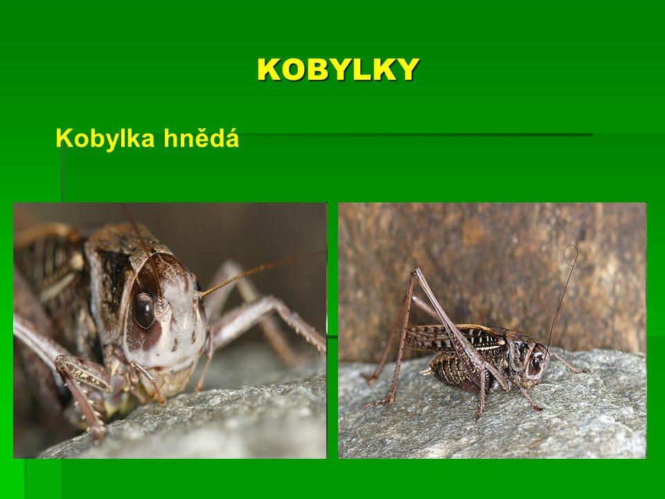 KOBYLKY Kobylka hnědá