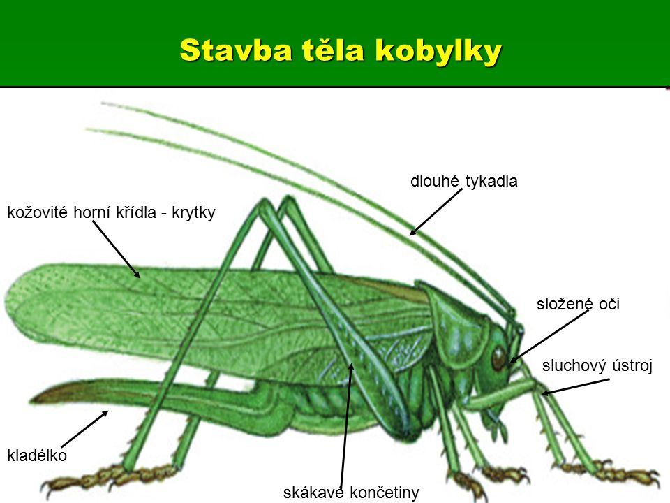 Stavba těla kobylky dlouhé tykadla kožovité horní křídla - krytky