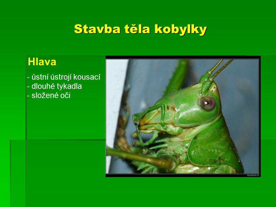 Stavba těla kobylky Hlava ústní ústrojí kousací dlouhé tykadla