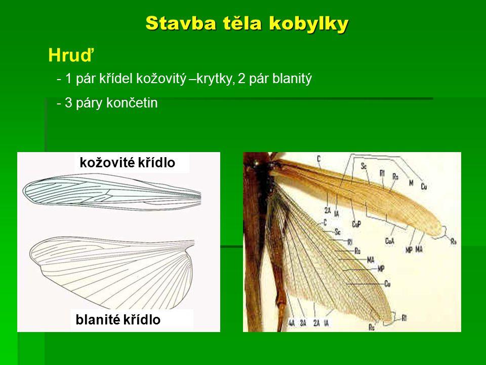 Stavba těla kobylky Hruď 1 pár křídel kožovitý –krytky, 2 pár blanitý
