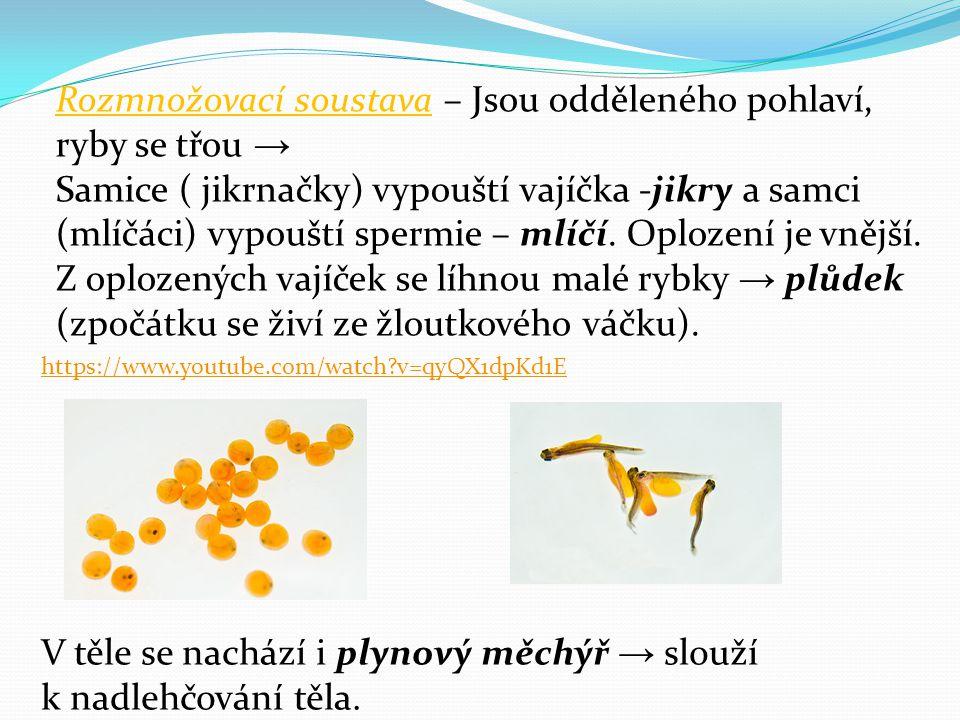 Rozmnožovací soustava – Jsou odděleného pohlaví, ryby se třou →