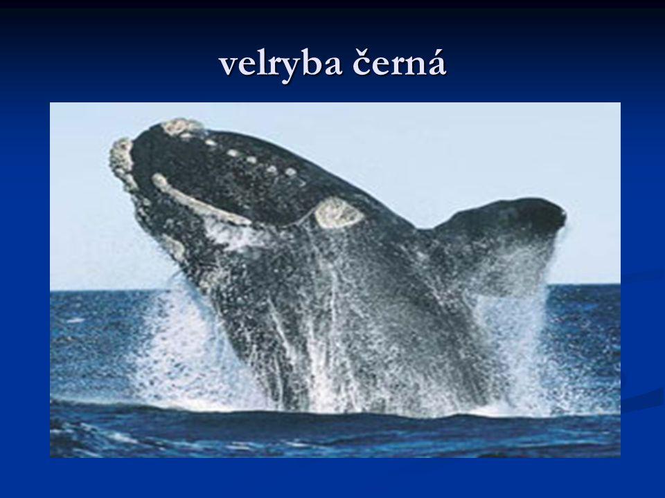 velryba černá