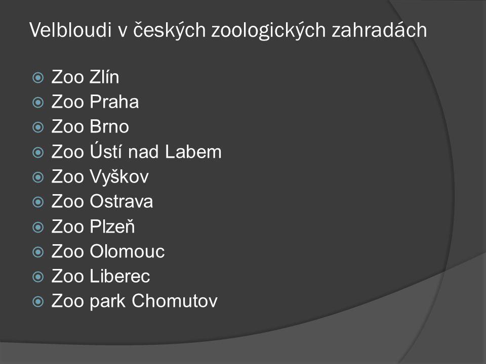 Velbloudi v českých zoologických zahradách