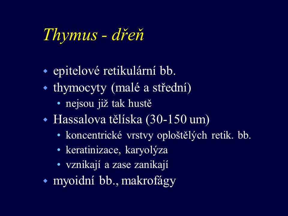Thymus - dřeň epitelové retikulární bb. thymocyty (malé a střední)