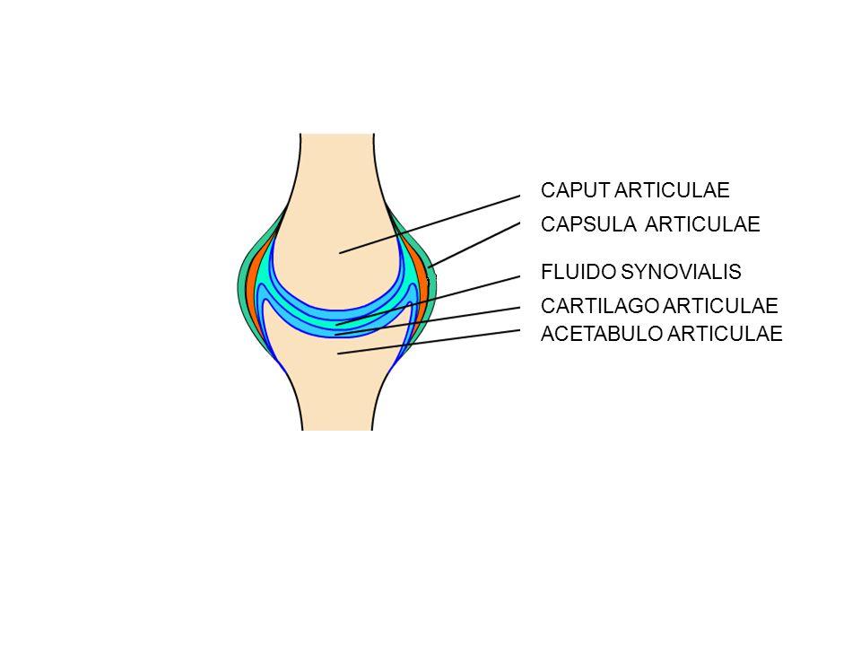CAPUT ARTICULAE CAPSULA ARTICULAE FLUIDO SYNOVIALIS CARTILAGO ARTICULAE ACETABULO ARTICULAE