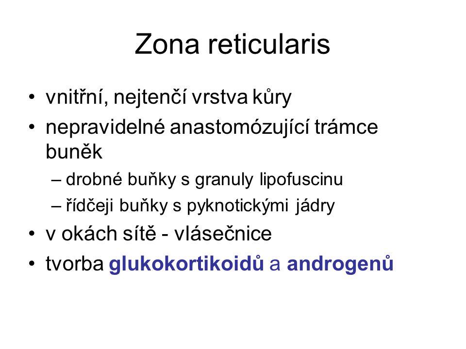 Zona reticularis vnitřní, nejtenčí vrstva kůry