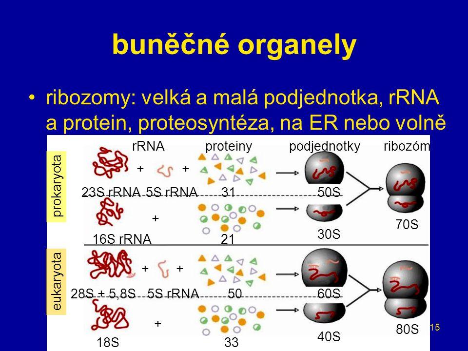 buněčné organely ribozomy: velká a malá podjednotka, rRNA a protein, proteosyntéza, na ER nebo volně.