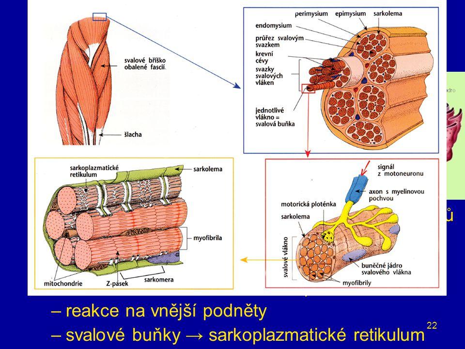 buněčné organely endoplazmatické retikulum propojené ploché váčky