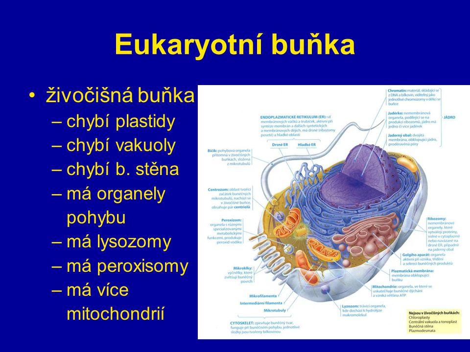 Eukaryotní buňka živočišná buňka chybí plastidy chybí vakuoly