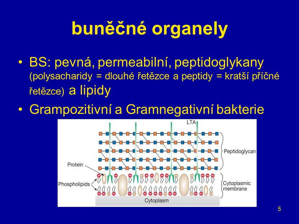 buněčné organely BS: pevná, permeabilní, peptidoglykany (polysacharidy = dlouhé řetězce a peptidy = kratší příčné řetězce) a lipidy.