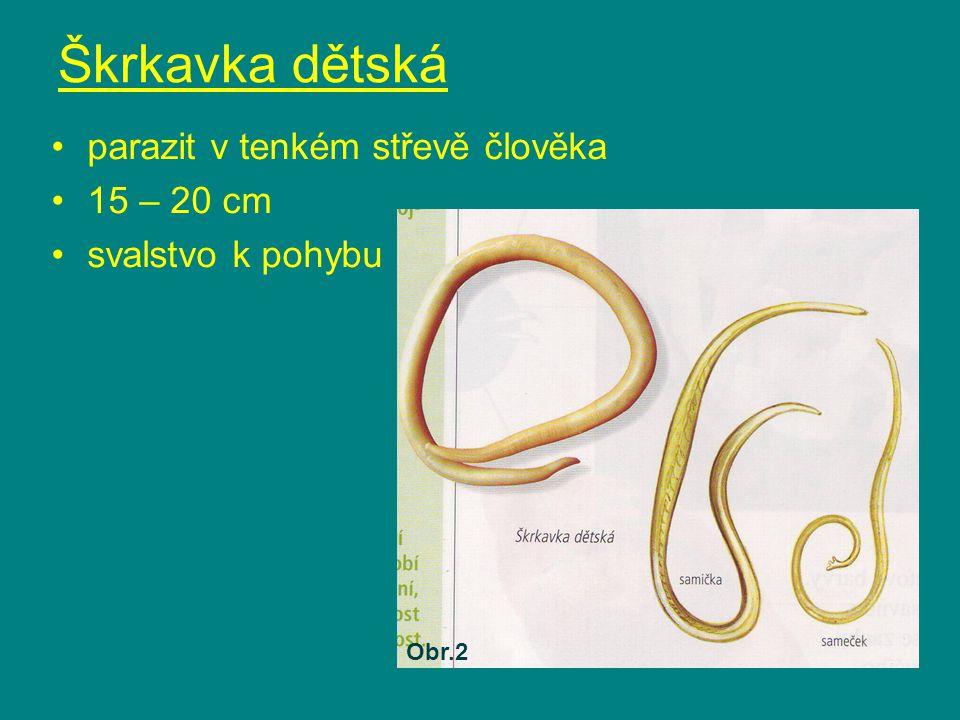 Škrkavka dětská parazit v tenkém střevě člověka 15 – 20 cm